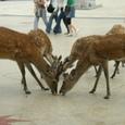鹿の世界も厳しい。